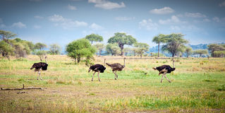 Flock of ostriches run across the Tanzanian savanna. Royalty Free Stock Image
