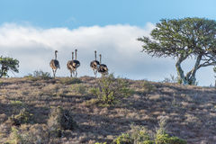 Flock of ostriches at sunset Stock Photography