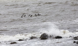 Flock of Oyster Catchers over Galway Bay Royalty Free Stock Images