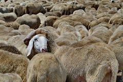 Flock på får i italienska fält Royaltyfria Bilder