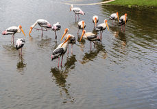 Flock of Painted Stork in the Lake Royalty Free Stock Photo