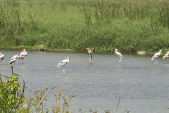 Flock of Painted Stork stock photo