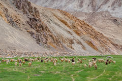 Flock of Pashminas in Ladakh, India. The Changthangi or Pashmina goat is a breed of goat inhabiting the plateaus in Tibet and neighbouring areas of Ladakh in Stock Images