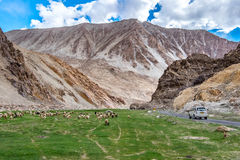 Flock of Pashminas in Ladakh, India. The Changthangi or Pashmina goat is a breed of goat inhabiting the plateaus in Tibet and neighbouring areas of Ladakh in Royalty Free Stock Image
