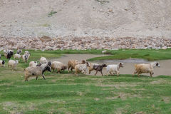 Flock of Pashminas in Ladakh, India. The Changthangi or Pashmina goat is a breed of goat inhabiting the plateaus in Tibet and neighbouring areas of Ladakh in Royalty Free Stock Photos