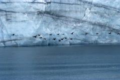 Flock Of Pelagic Cormorant Flying Next To Margerie Glacier At Glacier Bay National Park, Alaska.  stock image