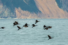 Flock of pelagic cormorant flying over Pacific Ocean. Stock Images