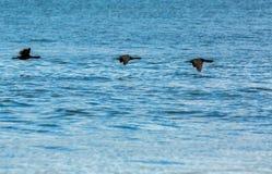Flock of pelagic cormorant flying over Pacific Ocean. Royalty Free Stock Photo
