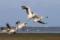 Flock of pelecanus onocrotalus taking off Stock Photography