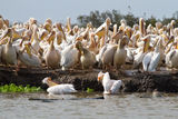 Flock of Pelican. Pelican Swim White Senegal River Royalty Free Stock Image