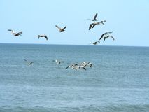 Flock of pelicans. A flock of pelicans in mid-flight over the waves at the Outer Banks of North Carolina Stock Photo