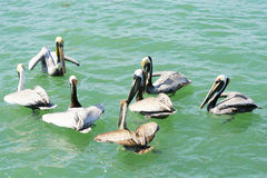 Flock of pelicans. Shot of a flock of pelicans Stock Photo