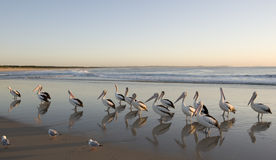 Flock of pelicans Royalty Free Stock Photography