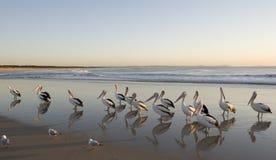 Flock of pelicans. A flock of pelicans flock Tuncurry beach, NSW ,Australia at dawn royalty free stock photography
