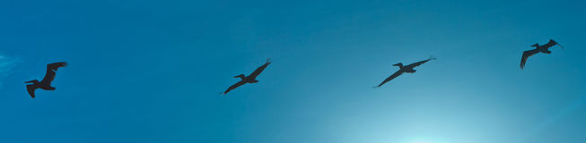 Flock of pelicans in the air Royalty Free Stock Photo