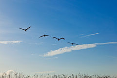 Flock of pelicans in the air Stock Photos