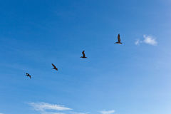 Flock of pelicans in the air Stock Photography
