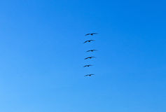 Flock of pelicans Stock Images