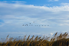 Flock of pelicans in the air. Flock of pelicans in the blue sky Stock Image