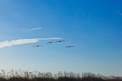 Flock of pelicans in the air. With blue sky Royalty Free Stock Images