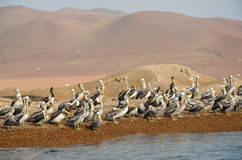 Flock of pelicans, Ballestas Islands, Peru, South America Stock Image