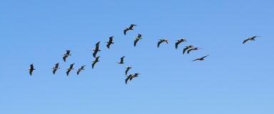 Flock of pelicans blue sky. Flock of pelicans on a blue sky background royalty free stock photos