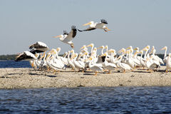 Flock of Pelicans by coast. Scenic view of flock of white Pelican birds on rock island surrounded by water. Some are in process of taking flight Stock Photo