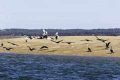Pelicans At Hervey Bay, QLD. A flock of Pelicans on the coast of Hervey Bay, Queensland Australia royalty free stock images