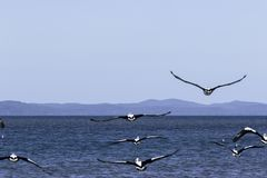 Pelicans At Hervey Bay, QLD. A flock of Pelicans on the coast of Hervey Bay, Queensland Australia stock images