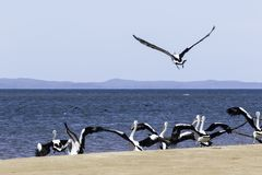 Pelicans At Hervey Bay, QLD. A flock of Pelicans on the coast of Hervey Bay, Queensland Australia stock image