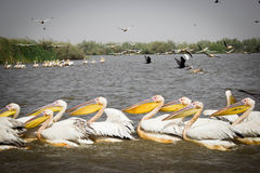 Flock of pelicans in Djoudj National Park Royalty Free Stock Images