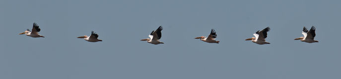 Flock of pelicans flies in the blue sky Stock Photo