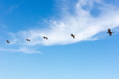 Flock of Pelicans in flight. A Flock of Pelicans in flight over an ocean beach Stock Photos