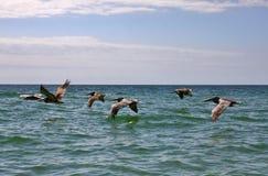 Flock of Pelicans in flight over the water Stock Images