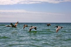 Flock of Pelicans in flight over the water stock images