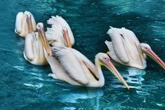 A flock of pelicans on the water surface stock photos