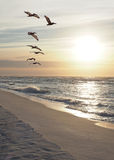 Flock of Pelicans Fly Down the Beach as the Sun Rises royalty free stock images