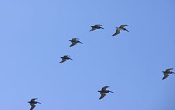 Flock of pelicans flying Stock Images