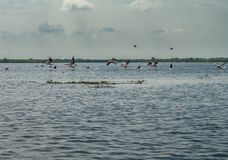 Flock of pelicans flying away, Danube Delta, Romania. Sunny day in the summer Royalty Free Stock Photos