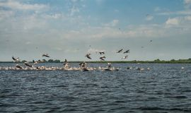 Flock of pelicans flying away, Danube Delta, Romania. Sunny day in the summer Royalty Free Stock Photo