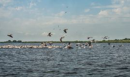 Flock of pelicans flying away, Danube Delta, Romania. Sunny day in the summer Royalty Free Stock Images