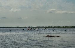 Flock of pelicans flying away, Danube Delta, Romania. Sunny day in the summer Stock Photo
