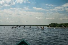 Flock of pelicans flying away, Danube Delta, Romania. Sunny day in the summer Royalty Free Stock Photography