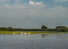 Flock of pelicans flying away, Danube Delta, Romania stock images