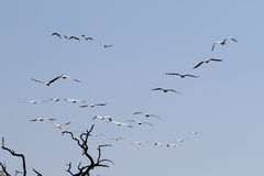Flock of pelicans flying in Chobe national park Stock Photography