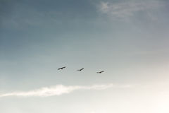 Flock of Pelicans flying in formation in bright blue sky stock photography