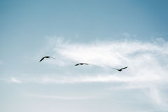 Flock of Pelicans flying in formation in bright blue sky. Large flock of birds flying in v formation as the migrate. Backgorund of bright blue skies Royalty Free Stock Image