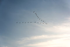 Flock of Pelicans flying in formation in bright blue sky. Large flock of birds flying in v formation as the migrate. Backgorund of bright blue skies Stock Photos
