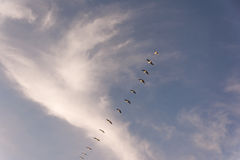 Flock of Pelicans flying in formation in bright blue sky. Large flock of birds flying in v formation as the migrate. Backgorund of bright blue skies stock photography