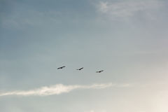 Flock of Pelicans flying in formation in bright blue sky. Large flock of birds flying in v formation as the migrate. Backgorund of bright blue skies royalty free stock images